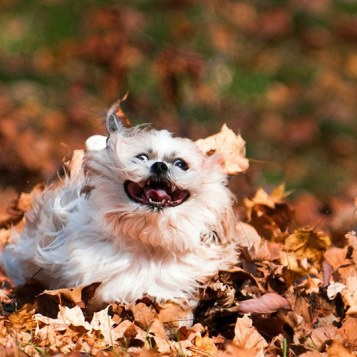 funny-dog-running-leaves-autumn-fall